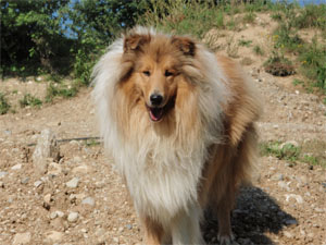 Rough Collie Wengerhof